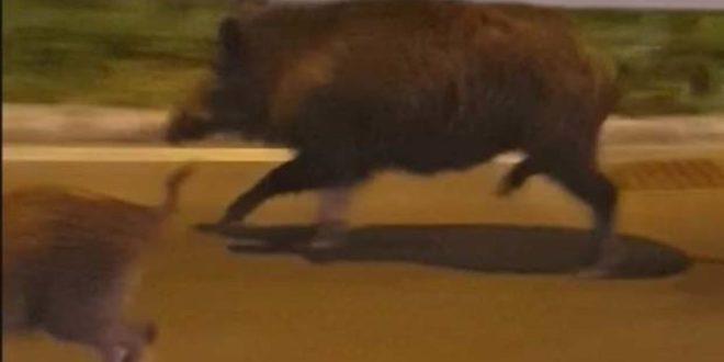 ПАНИKА У БЕОГРАДУ: Дивље свиње се појавиле у центру, на Kалемегдану и на Новом Београду! 1