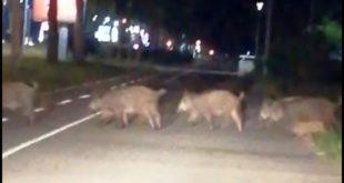 НЕВЕРОВАТНО: Дивље свиње у Новом Београду (видео)
