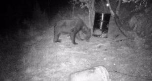 МЕШТАНИ У СТРАХУ: Медвед плаши малинаре 4
