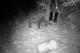 МЕШТАНИ У СТРАХУ: Медвед плаши малинаре