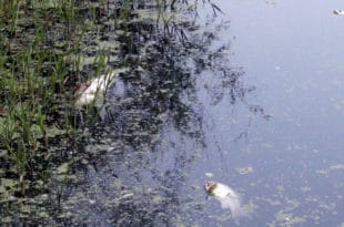 Помор рибе у Рашки и Ибру