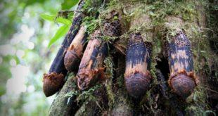 Дрвеће које хода: Природна мистерија коју наука још увек не може да објасни (видео) 3