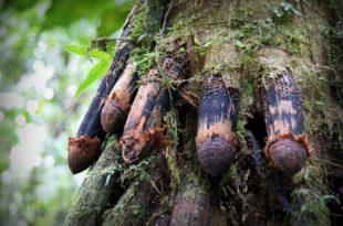 Дрвеће које хода: Природна мистерија коју наука још увек не може да објасни (видео) 5