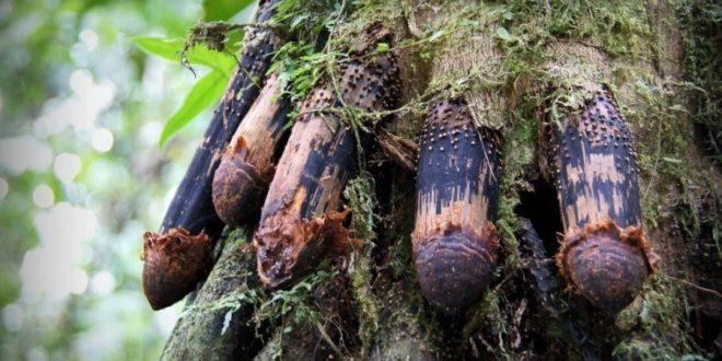 Дрвеће које хода: Природна мистерија коју наука још увек не може да објасни (видео)