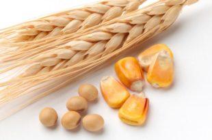 Пале цене пшенице, кукуруза и соје на Продуктној берзи у Новом Саду