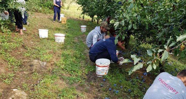 Род шљиве и кајсије никад бољи а због ниске откупне цене све оде у ракију 1