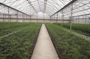 """Планатажи марихуане """"Јовањица"""" Агенција за финансирање извоза одобрила више милиона евра кредита"""