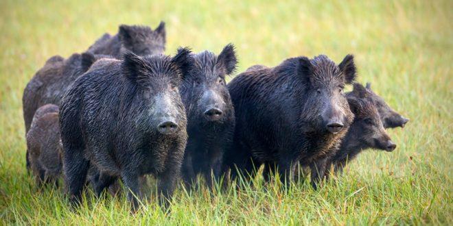 Италијан и Албанци закопали KОKАИН У ШУМИ, а онда се појавило крдо дивљих свиња и све ПОЈЕЛО И УНИШТИЛО!