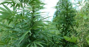 """Ко стоји иза плантаже марихуане откривене на пољопривредном добру """"Јованица"""" код Старе Пазове?"""