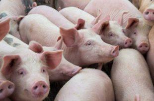 Напредњаци ослобађају плаћања царине комплетан увоз живих свиња, говеда и маслаца из ЕУ