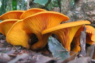 Ко их једе неће бити забораван: Печурке чувају здравље мозга