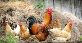 ЕУ правила затварају кокошињце: Живинарске фарме у Србији мораће да се прилагоде стандардима ЕУ