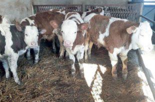 Муке сточара: Бикови прерасли откуп, уместо за сетву, новац троше на храну за животиње