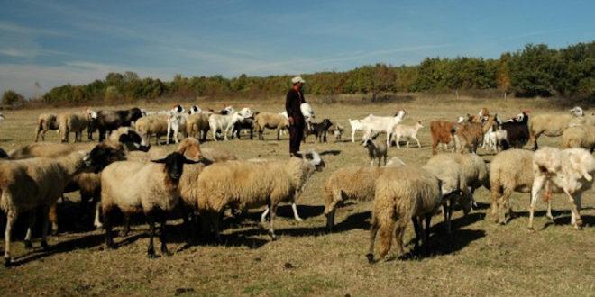 Чобанин кажњен јер је чувао овце током полицијског часа