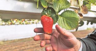 Купци у страху од вируса не купују јагоде
