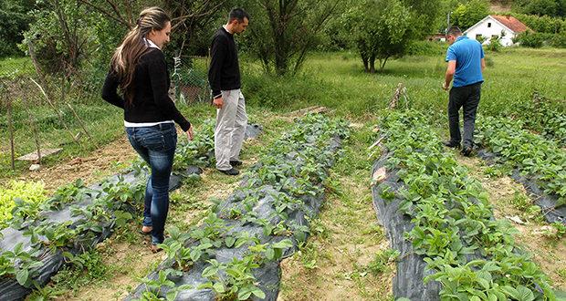 Грочански воћари брину ко ће да обере јагоде: Ако мере потрају, неће ангажовати сезонске раднике