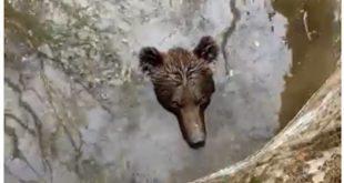 Невероватан снимак из Босне: Медвед упао у бунар, мештани га извлачили трактором (видео)