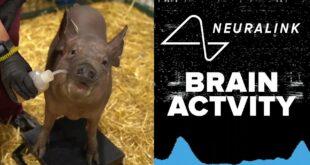 Амерички милијардер Елон Маск представио свињу са чипом у глави (видео)