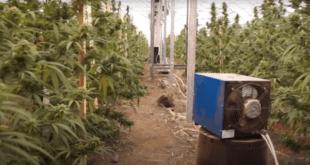 Јовањица: Од дозвола државе за узгој индустријске конопље до највеће лабораторије марихуане у Европи