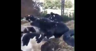 Арапска Ал Дахра уништава остатке ПКБ-а, краве умиру од глади, погледајте шта раде Вучићеви пријатељи (видео)