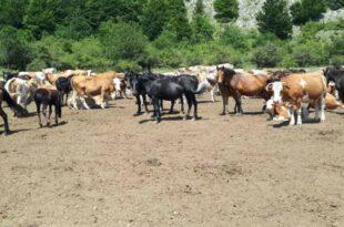 Пресушио једини извор на Сувој планини, 1.000 коња и крава умире од жеђи, и Војска дигла руке